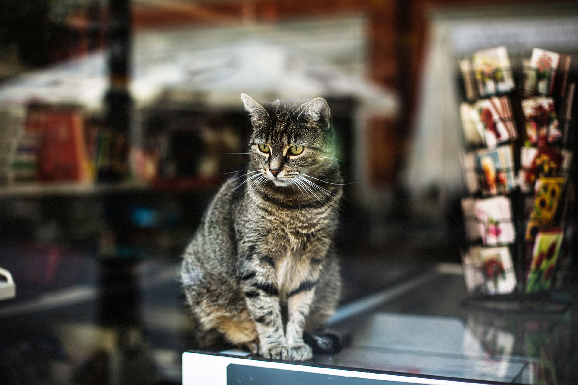 Beautiful shot of a cute gray cat behind the window of a store captured in Poznan, Poland